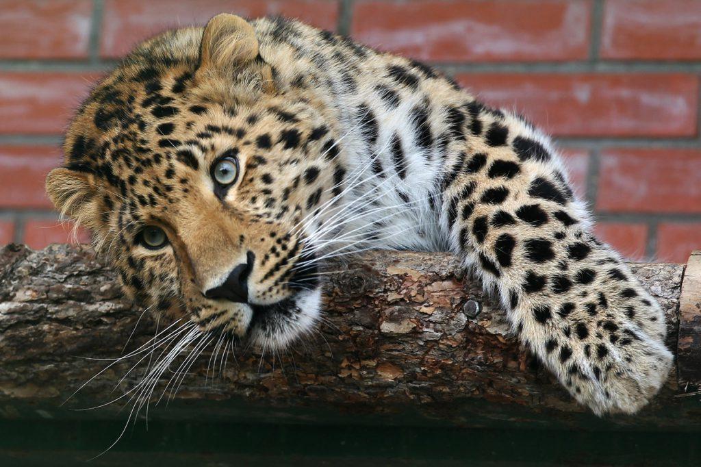 исчезающие животные из красной книги россии дальневосточный амурский леопард